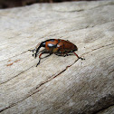 Palm weevil