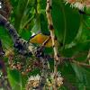 Orange-bellied Flowerpecker