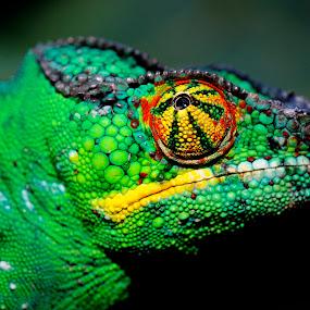 Jurassic Colors by James Bokovoy - Animals Reptiles ( colors, safari, reptile, chameleon, madagascar,  )