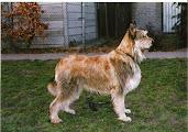 Photo: 1996 Quisbeecke's Ael Carantec -Prod et Prop: Mme Folmer (Elton de la Hutte aux Diables x Glizhienn de Lann Guic) Pedigree:http://www.pawpeds.com/db/?a=p&id=626149&g=4&p=bpi&o=ajgrep