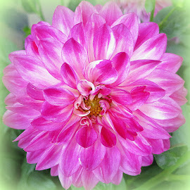 Chysanthemum by Caroline Beaumont - Flowers Single Flower ( pink flower, chysanthemum, pink chysanthemum, pink and white, flower )