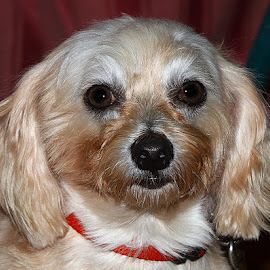 Belle by Chrissie Barrow - Animals - Dogs Portraits ( crossbreed, fur, ears, bichon frise, cream, portrait, dog, pet, maltese )