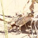 Mojave Fringe-toed Lizard