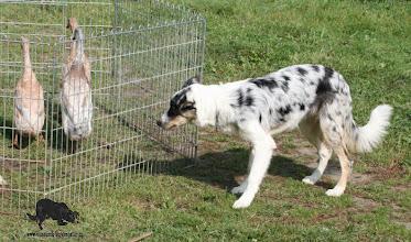 Photo: 5,5 months herding training by Luky Vaňourek