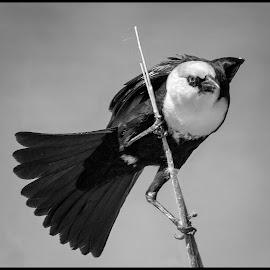 Yellow-headed Blackbird by Dave Lipchen - Black & White Animals ( yellow-headed blackbird )