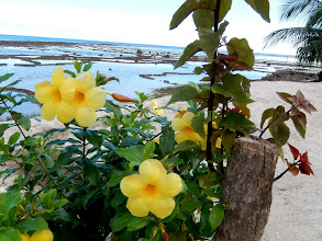 Photo: Beautiful allamonda flowers. Also known as the yellow buttercup native to the tropics.
