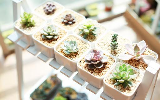 Succulent plants Wallpaper