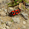 Black-and-Red-bug
