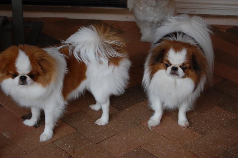Chó Nhật Xù giá bao nhiêu? Mua bán chó Nhật ở Hà Nội và TPHCM