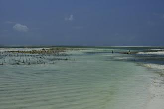 Photo: La culture des algues se fait au milieu de la lagune : des fils en nylon sont tendus entre ces piquets, où les algues sont accrochées pour pousser bien rangées.
