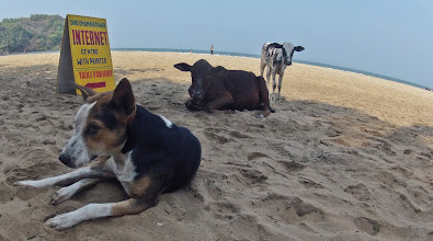 Photo: holy beach cows, dogs..