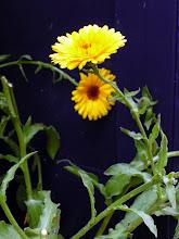 Photo: Calendula for garnish, syrups, infusions.