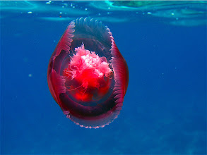 Photo: red jellyfish close-up