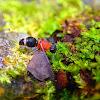 Asian Velvet Ant
