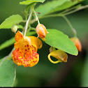 Spotted Touch-Me-Not (Spotted Jewelweed)