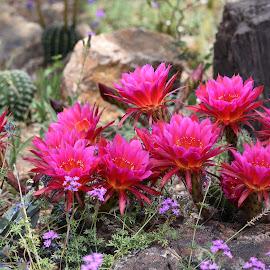 Hot Pink by Dawn Hoehn Hagler - Flowers Flower Gardens ( tucson botanical gardens, tucson, pink, cactus flower, arizona, garden, pink flower, hot pink, flower )