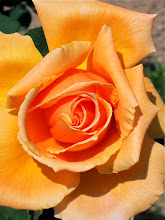 Photo: a rose in the rose garden