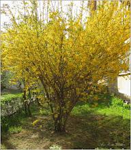 Photo: Ploaia de aur (Forsithya)  - din Turda, Calea Victoriei, Nr. 19, spatiu verde - 2019.04.09