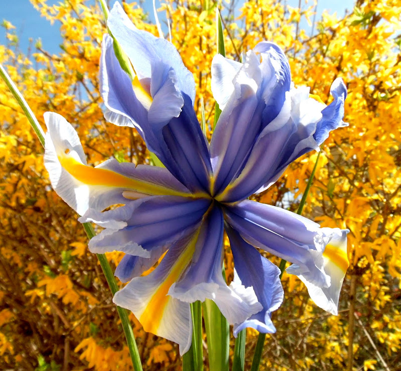 Iris transgenico di joysphoto
