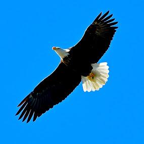 Morning Flight by Clark Crosser - Animals Birds ( bird, fly, flight,  )