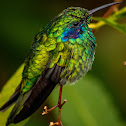 Green violetear