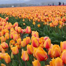 Tulip time by Dennis Rathbun - Flowers Flower Gardens ( sea of color, orange-pink, flowers, tulips, rows )