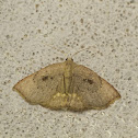 Hook tip Moth