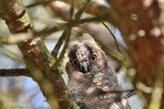 Photo: Pollo ramero de búho chico que me miraba con los ojos bien abiertos. El bosque de Valorio (Zamora) ha ido perdido la magnífica población de búhos chicos que albergaba.