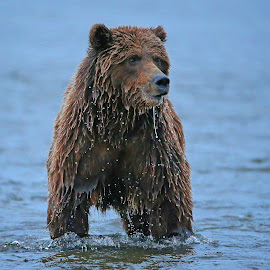 Going Fishing! by Anthony Goldman - Animals Other Mammals ( mammal, nature, fishing, action, bear, brown, female, water, wild, lake clark, wildlife,  )