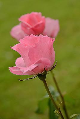 Due rose rosa di Wilmanna