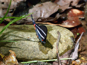 Photo: PINK-C-BEAUTYMARK (DYSON'S SWORDTAIL)--rhetus dysonii--RIO PINGULLO