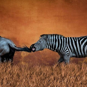 Got your tail by Kathy Val - Animals Other Mammals ( playing, animals, nature, wildlife, zebra )