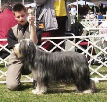 Photo: Club Show Szilvaszvarad/H 2nd place with ICh. Firstprizebears Abilene Saturday, April 26, 2003