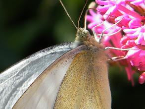 Photo: La Piéride blanche ou Piéride du chou butine une centranthe rouge.