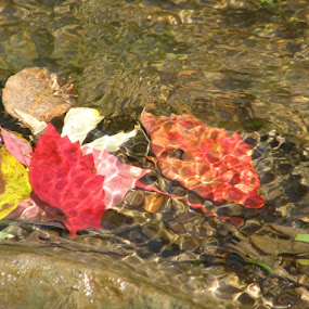 Big River Fall by Phil Williams - Nature Up Close Leaves & Grasses ( county, jefferson, mo red, yellow, leaves, river )