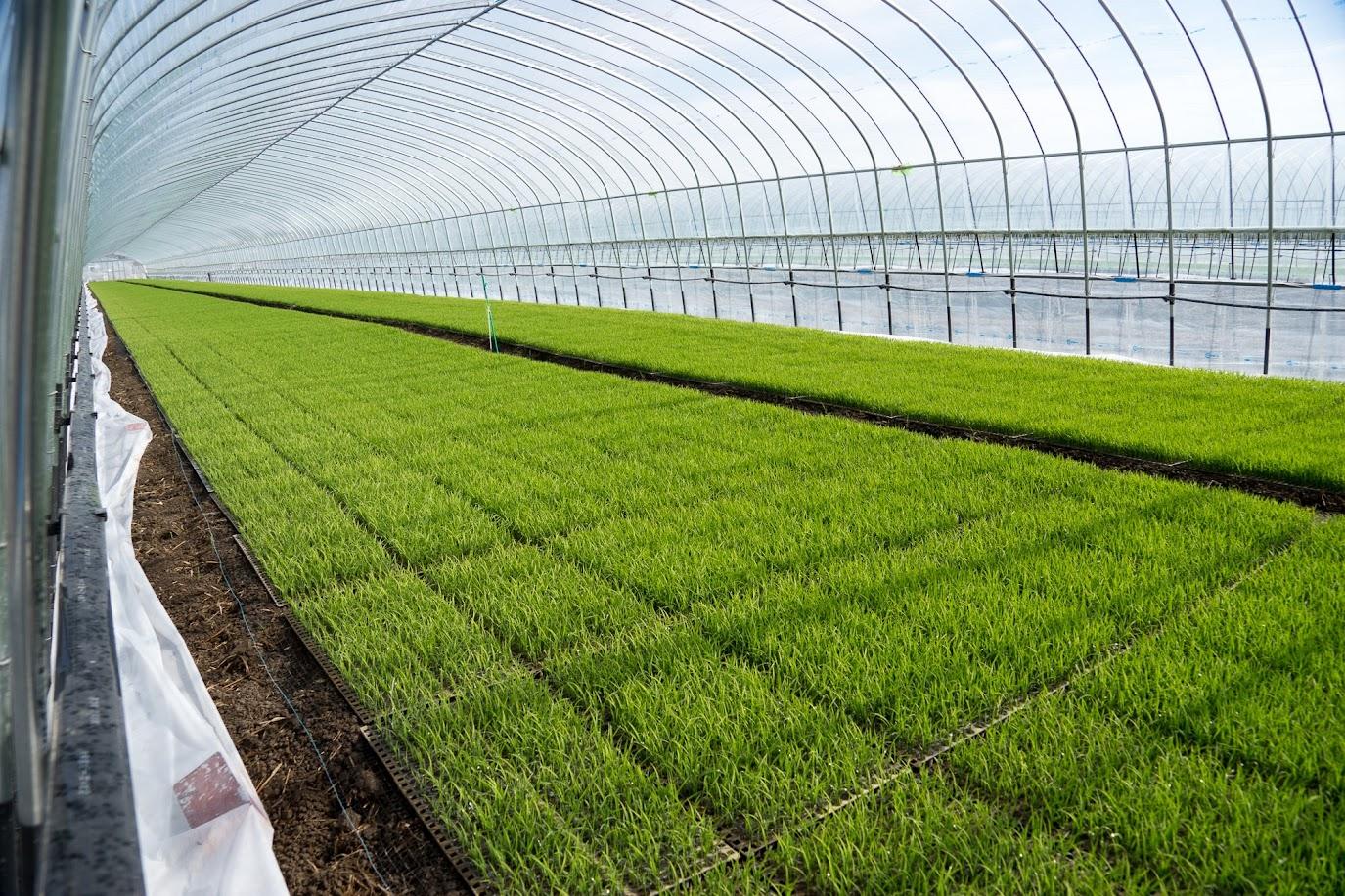 青々と育つ稲