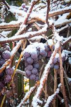 Photo: Jeszcze tydzień wcześniej winogrona okrywały liście. Teraz tuli je śnieg.