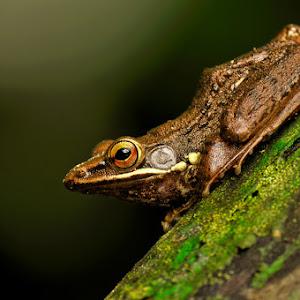 Brown Frog.jpg