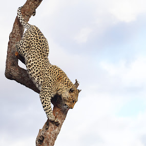 Leopard descending tree by Sue Green - Animals Lions, Tigers & Big Cats ( leopard on the alert, endangered species, male leopard in tree, wildlife, after the kill, leopard alert in the trees, leopard sky tree leaves, lazy bones, escape to the trees., watching me. )