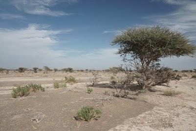 Ghaf-Bäume - so 'ne Mimose