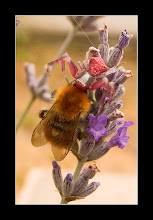 Photo: The Crab, the Bumblebee, the Lavender