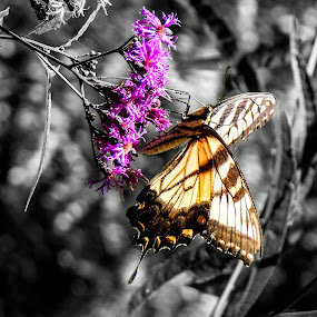 standout by Deborah Murray - Animals Insects & Spiders ( butterfly, macro, purple, black and white, color, wildflower, depth of field, yellow, insect, swallowtail,  )