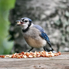 Blue Jay Eating Nuts by Jillynn Markle - Animals Birds ( animals, nature, blue jay, birds )