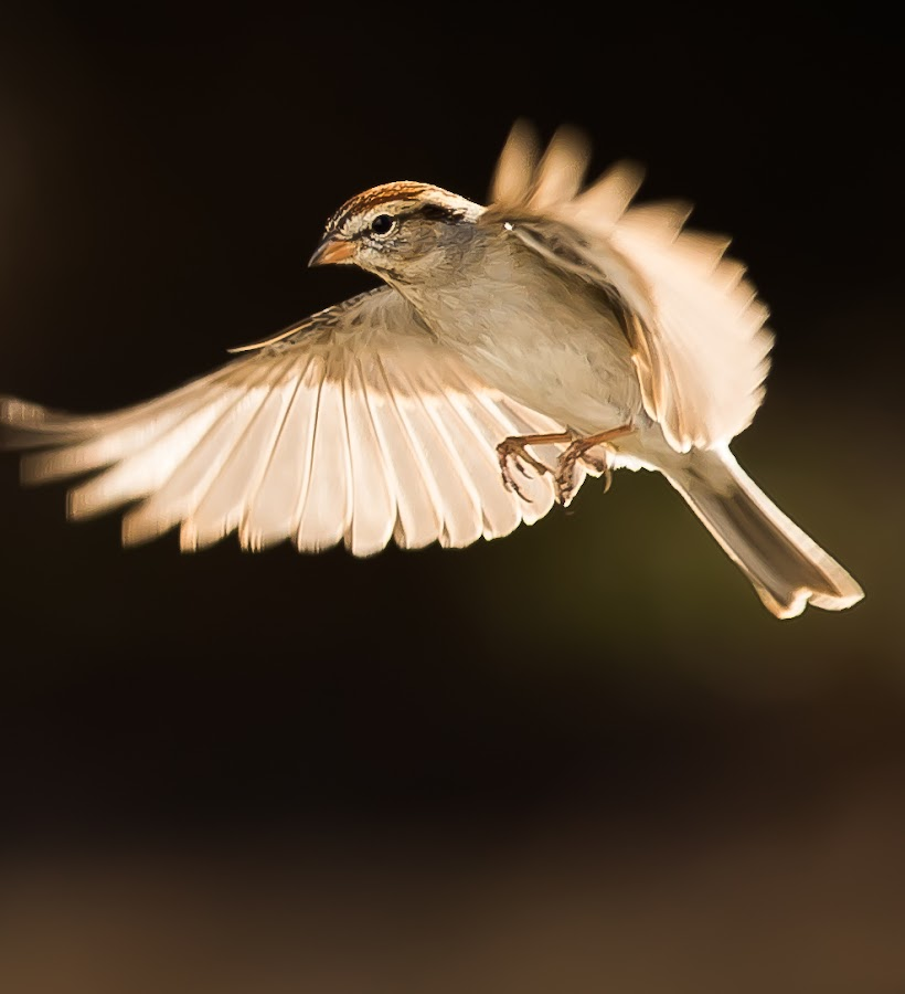 A Chipping Sparrow in-Flight by Ed Stines - Animals Birds ( feather, flight, nature, birds, doves, avian, wild birds, mourning doves, backyard birding, bird, backyard birds, chipping sparrow, bird feeder, wildlife,  )