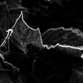 Backlight beauty  by Todd Reynolds - Black & White Flowers & Plants