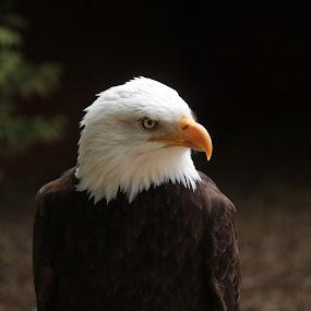 inquisitive eye by Eric Payne - Novices Only Wildlife ( eye, face, bird of prey, birds, eagles )