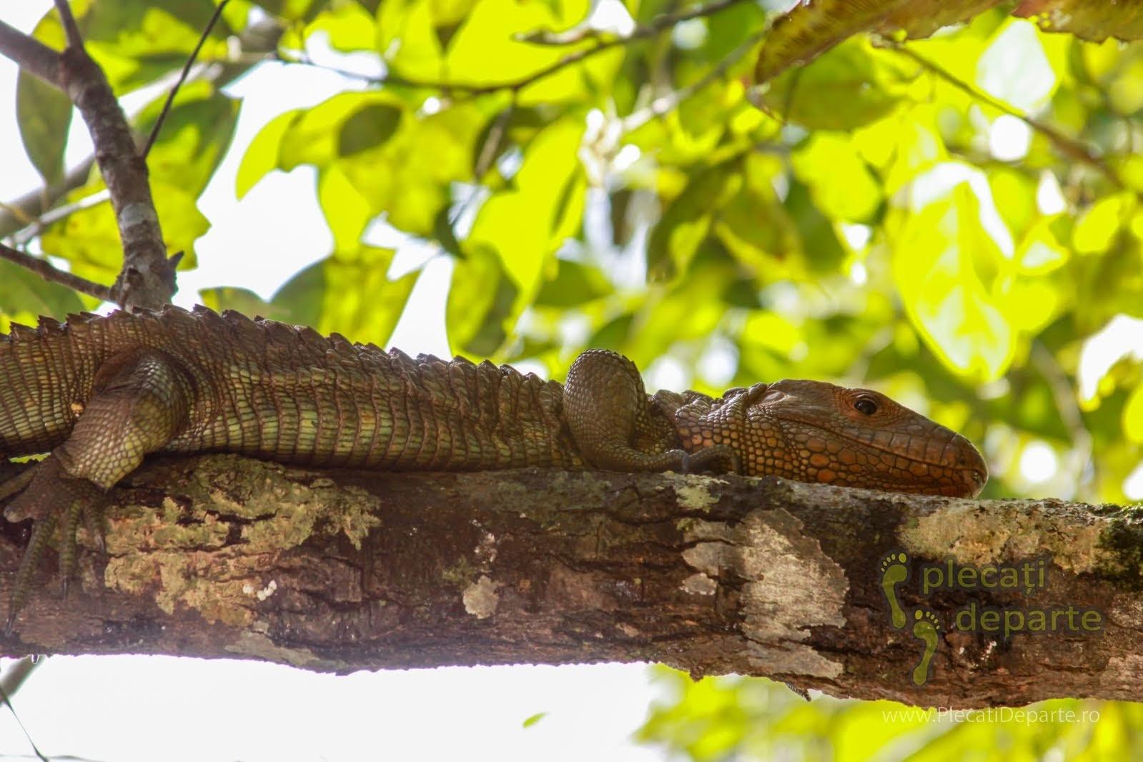 Soparla-caiman pe creanga unui copac, in jungla amazoniana, in Rezervatia Nationala Pacaya-Samiria, Peru