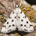Spotted Peppergrass Moth - 4749