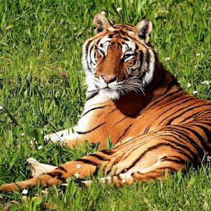 Tiger-21.jpg