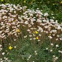 Whitish flowers